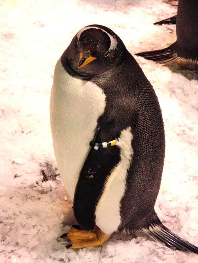 可爱小家伙白眉企鹅